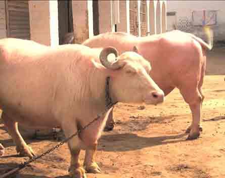 Dunya News: Have you ever seen the pink buffalo?