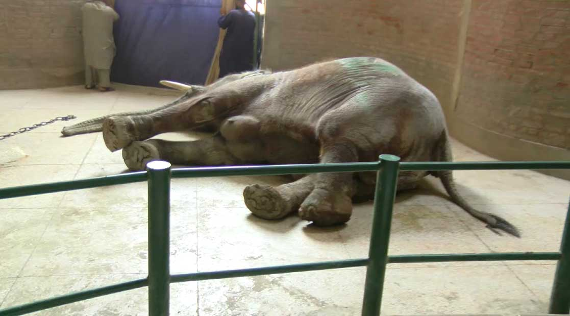 Beloved elephant Suzi of Lahore Zoo passes away