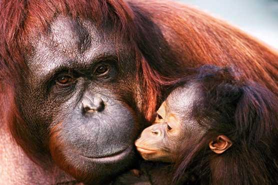 Orangutan 50th Birthday celebrated 50th birthday
