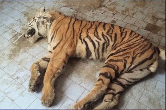 Bengal Tiger Dies Of Kidney Failure At Karachi Zoo