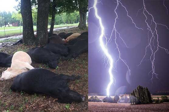19 cows killed by lightning strike in Texas