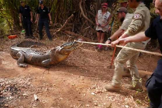 Four metre croc responsible for eating Aussie cattle captured in Northern Territory