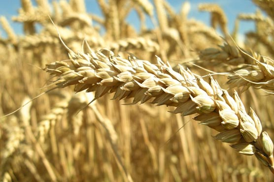 A Surprising Culprit Behind Celiac Disease?