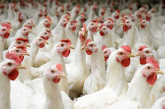 Poultry products' prices fall throughout Pakistan