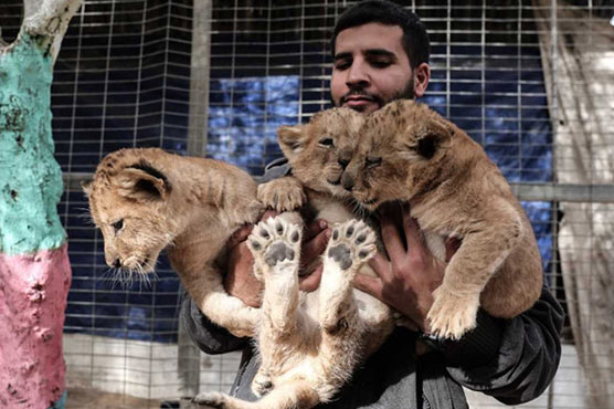 Gaza zookeeper puts three lion cubs up for sale - World