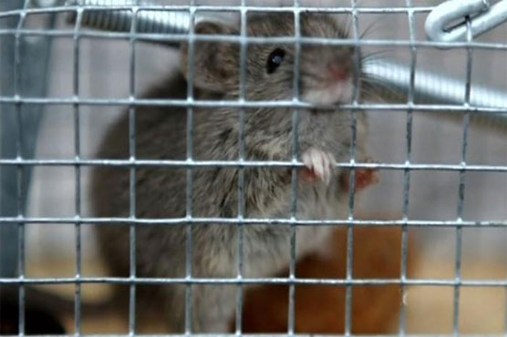 The mouse that soared: Rodent discovery disrupts flight to San Francisco