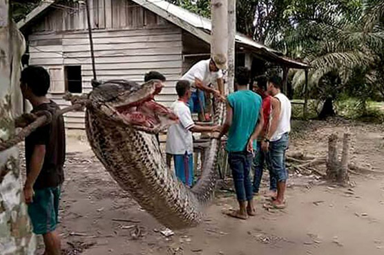Terrifying! Man Barely Survives Fight With This 23 Foot-Long Python