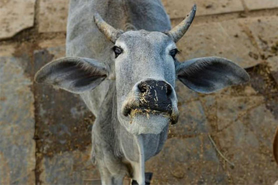 Cow, Tractor on Tarmac Disrupts Schedule at Two Airports