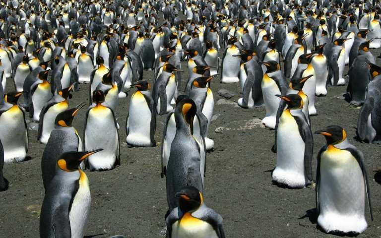 World's biggest king penguin colony shrinks nearly 90 percent