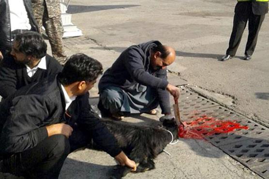 PIA offers sacrifice of black goat before Multan flight