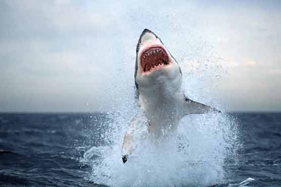 Shark leaps to death on Emirati fishing boat