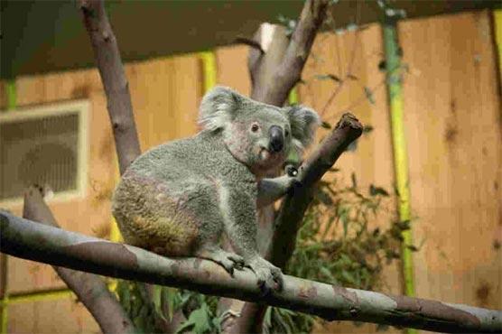 Bear Force One: VIP koala takes seat on UK flight