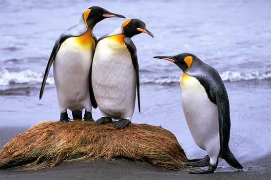 Scientists spot collapse of world's biggest king penguin colony