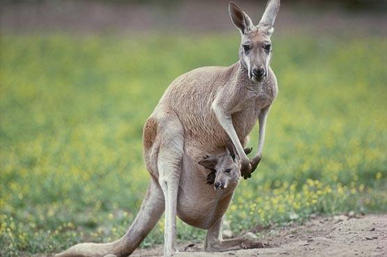 Kangaroo on the loose in Austria