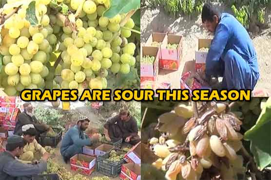 Lack of rains and ineffective water policy affect crops of grape in Balochistan