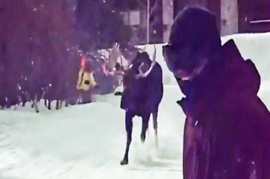 Moose captured chasing skiers at Colorado resort