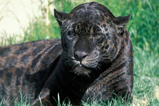 Arizona woman attacked by jaguar after climbing into zoo enclosure