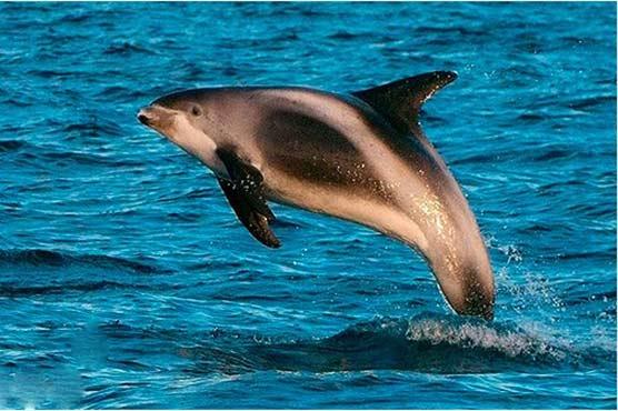 483560 75506097 - ڈولفن خاندان کی سمندری مخلوق ویکیٹا معدوم ہونے کے قریب