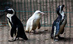 Polish zoo p-p-picks up an albino penguin
