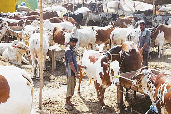 Cattle markets to be set up in Islamabad after moon sighting: MCI