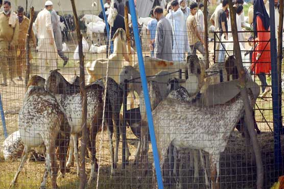 Pakistanis throng to cattle market as Eid-ul-Azha approaches
