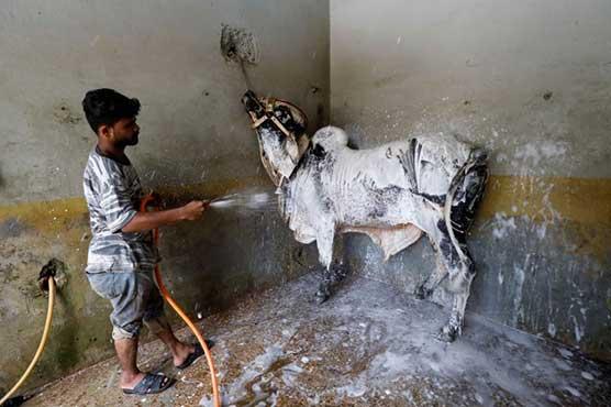 Pakistanis take livestock to 'cow wash' ahead of Eid