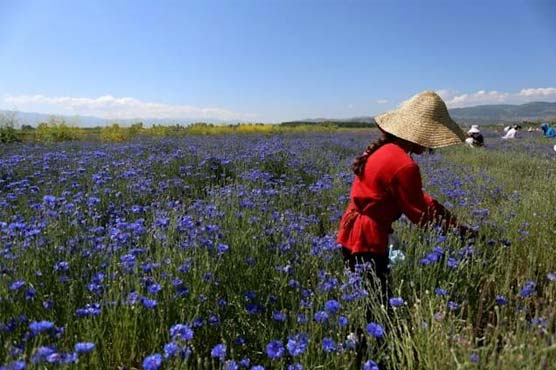 'Silver lining': Albania medicinal herbs bloom in pandemic