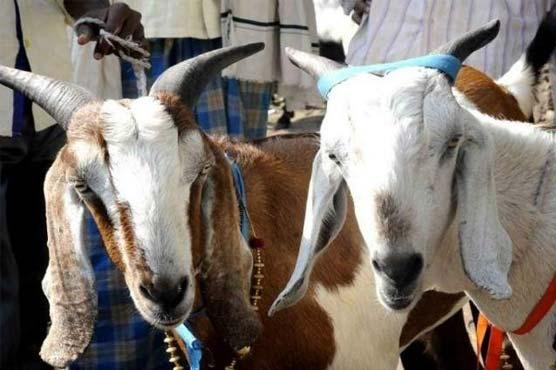 India bans animal slaughter in IIOJ&K during Eid-al-Adha