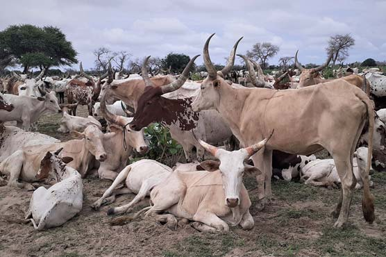 In Sahel, conflict threatens trade in Eid sheep
