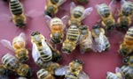 Bees in the Netherlands trained to detect COVID-19 infections