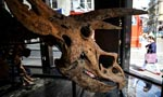 Remains of 'Big John', largest known triceratops, sell for 6.65 mln euros