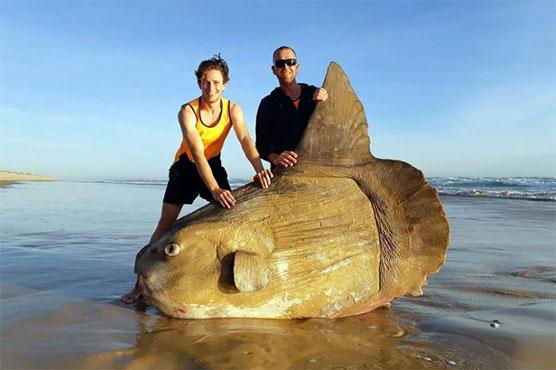 انسانی وجود سے دو گنا بڑی عجیب الخلقت ''سورج مچھلی''