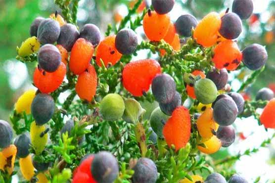 ایسا حیرت انگیز درخت جس پر 40 مختلف پھل اگتے ہیں