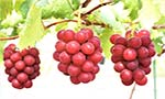World's most expensive grapes 'Ruby Roman' sell for over Rs 76,000