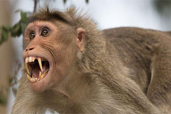 انتقام کی آگ میں بندر نے 22 کلومیٹر کا سفر طے کیا